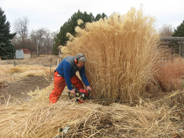 Image result for cutting back ornamental grasses