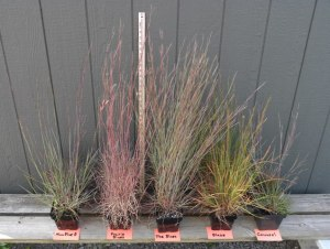 University of Vermont- Little Bluestem cultivars