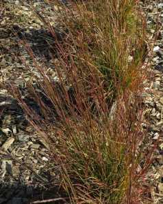 Schizachyrium Blaze, fall 2013 in Vermont